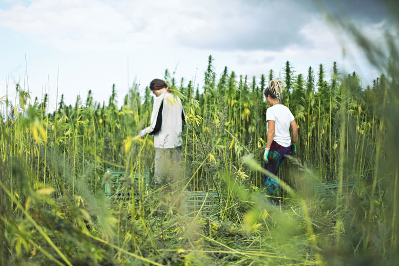 Harvesting CBD
